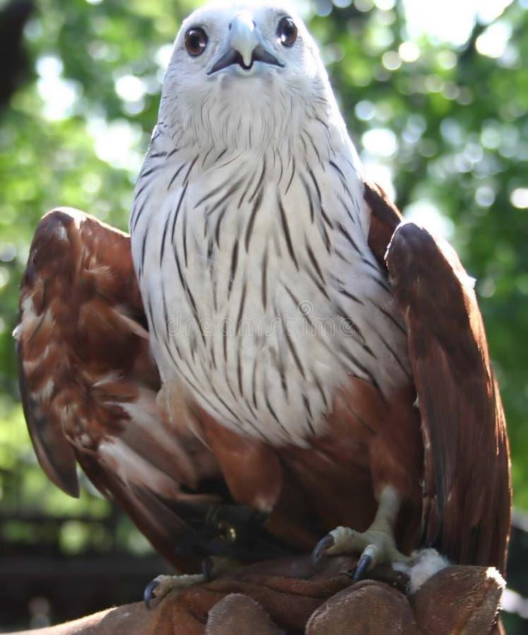 Hawk Obraz Stock