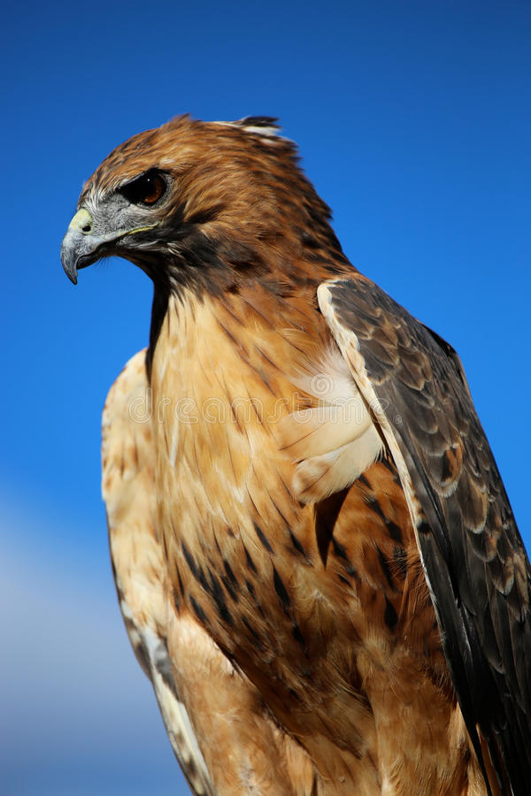 Free Hawk Against Blue Sky Royalty Free Stock Images - 65799099