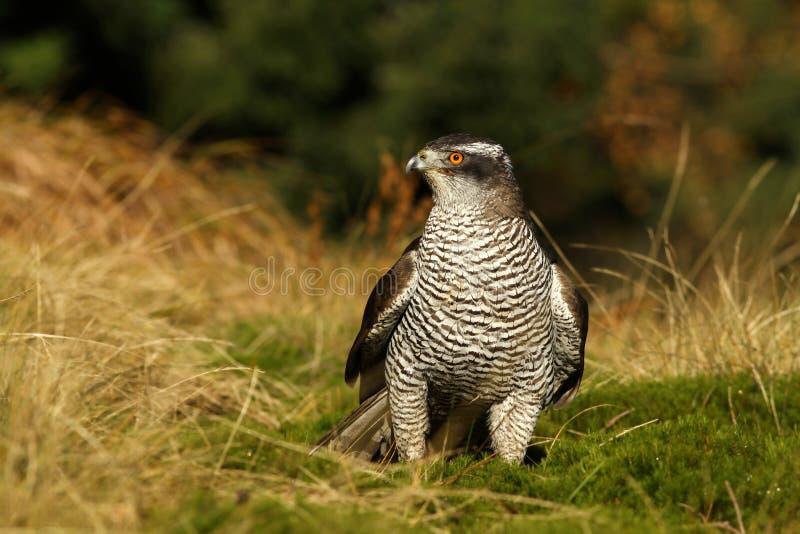 Hawk in autumn stock images