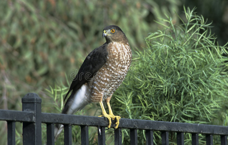 Download Hawk in Backyard stock image. Image of tree, evergreen, bird - 51351