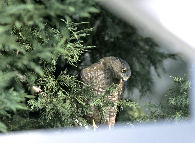 Hawk in Backyard Tree