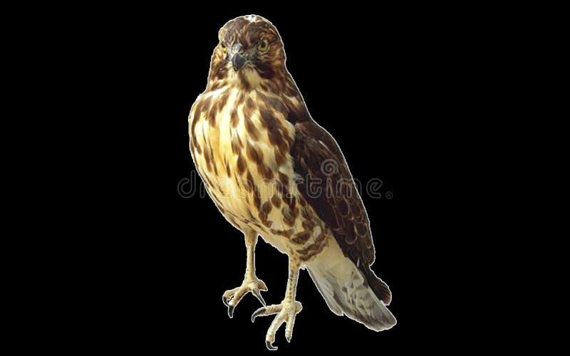 Hawk, Beak, Bird, Bird Of Prey stock photo
