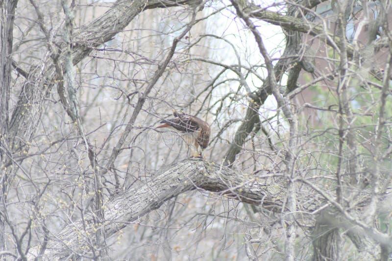 Hawk Bird da rapina 2019 II foto de stock