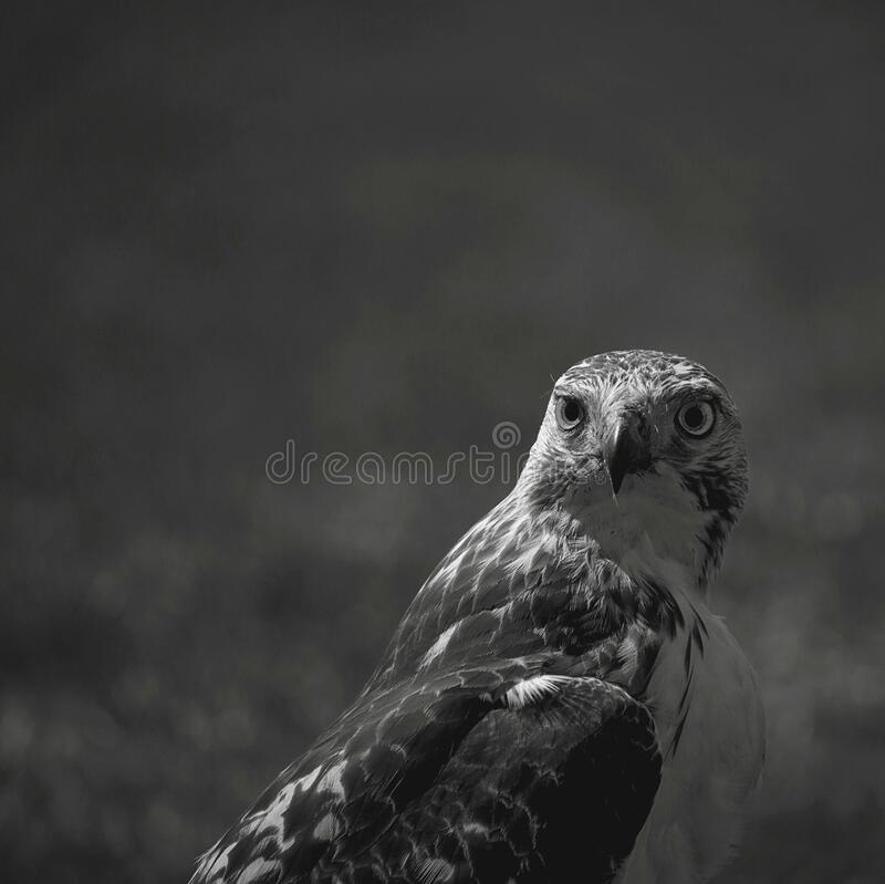 Hawk bird looking over shoulder royalty free stock photography