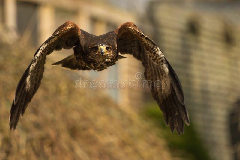 Hawk. Bird of prey flying stock photography