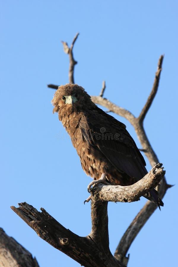 Hawk. Bird rapacious fly sky clouds royalty free stock image