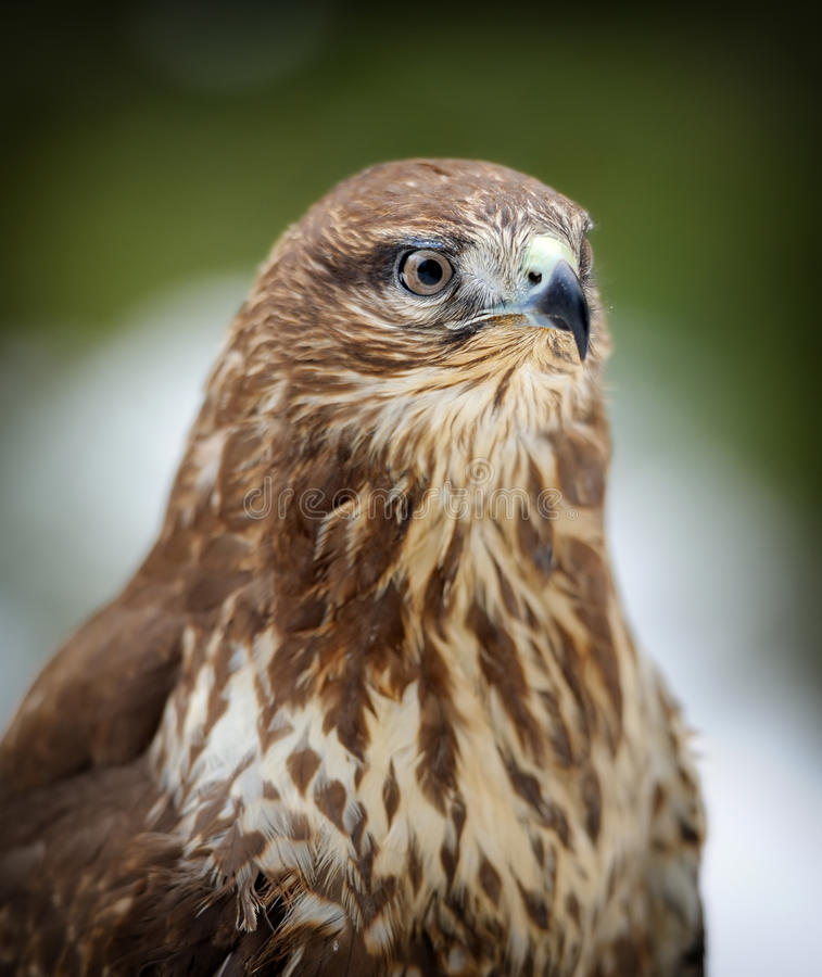 Hawk. On a branch in forest blurred background royalty free stock photos