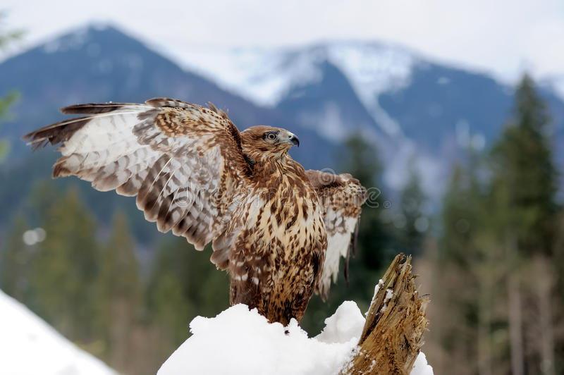 Hawk on a branch stock photo