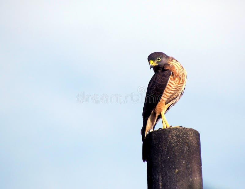 Hawk of Brazil stock photo