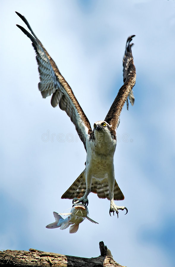 Download Hawk with Captured Catfish stock photo. Image of animals - 1825692