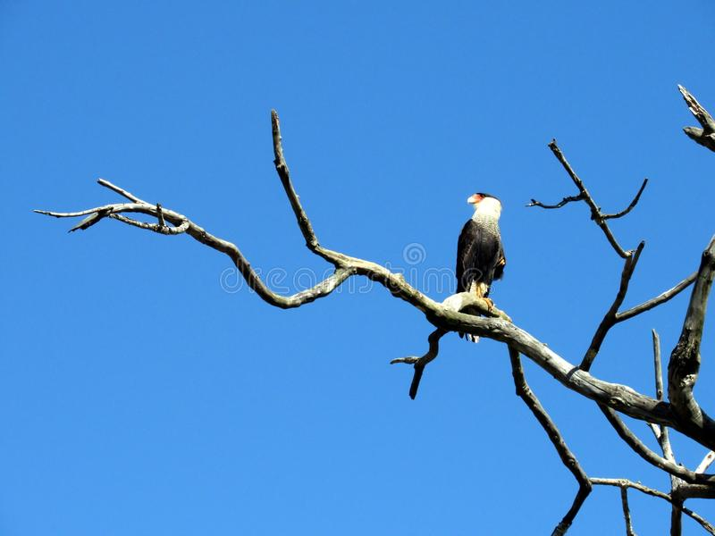 Hawk Caracara Plancus fotografia stock libera da diritti
