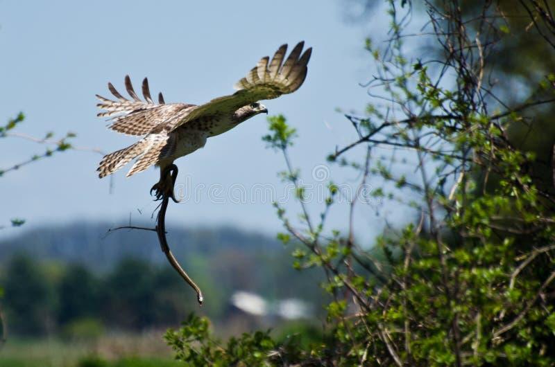 Hawk Carrying Rouge-coupé la queue un serpent photos libres de droits