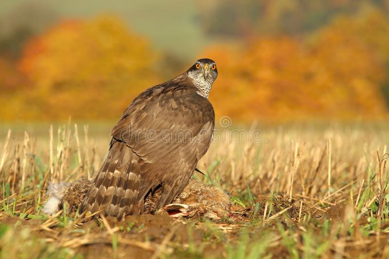 Hawk catched hare royalty free stock image