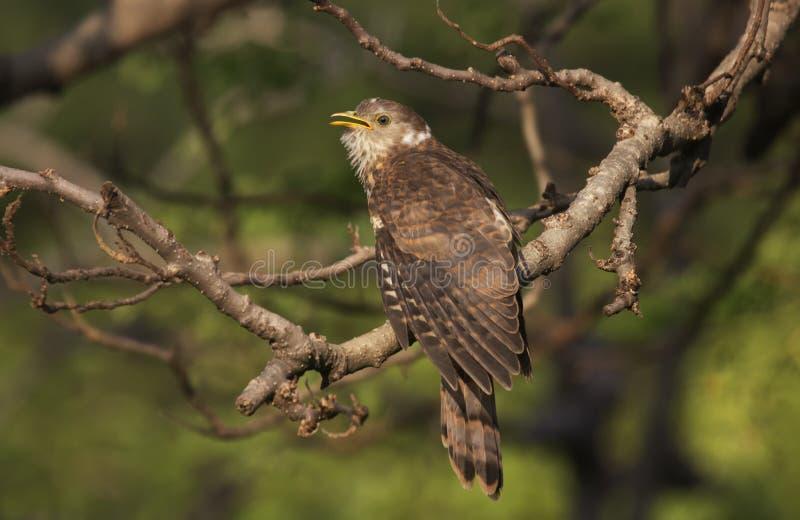 Hawk Cuckko Chick comune dal Gujarat, India immagine stock