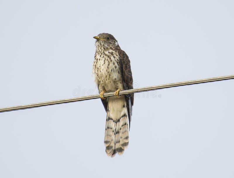 Hawk Cuckoo común fotos de archivo