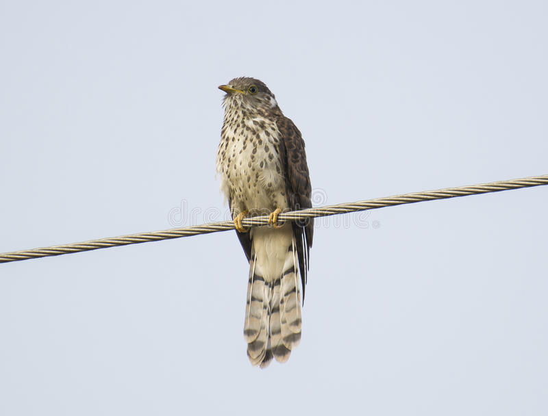 Hawk Cuckoo commun photos stock