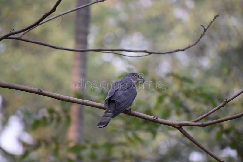 Hawk Cuckoo comum imagens de stock