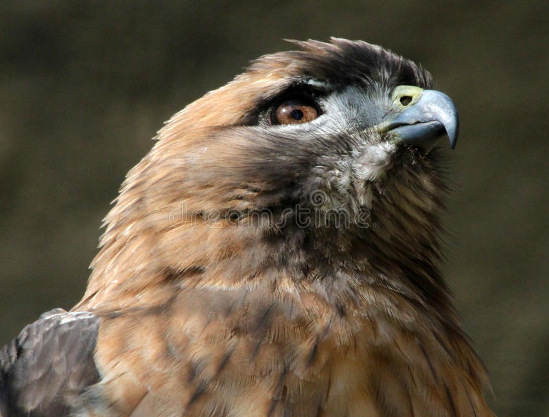 Hawk. Detail Of Red Tail Hawk Sitting In Sun royalty free stock photos