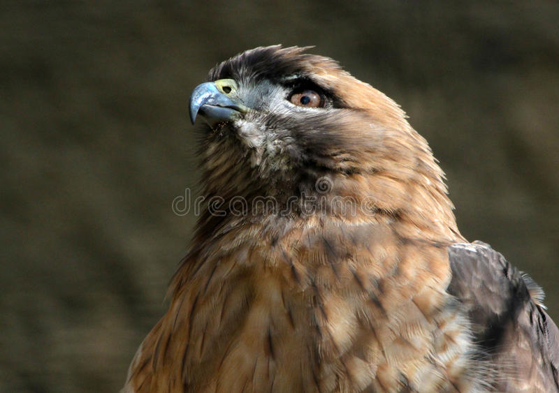 Hawk. Detail Of Red Tail Hawk Sitting In Sun stock images