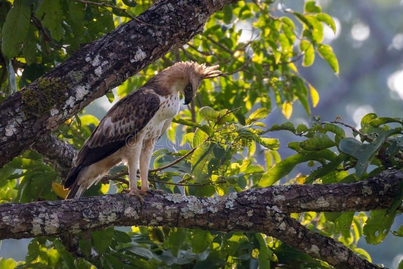 Hawk Eagle com crista imagem de stock royalty free