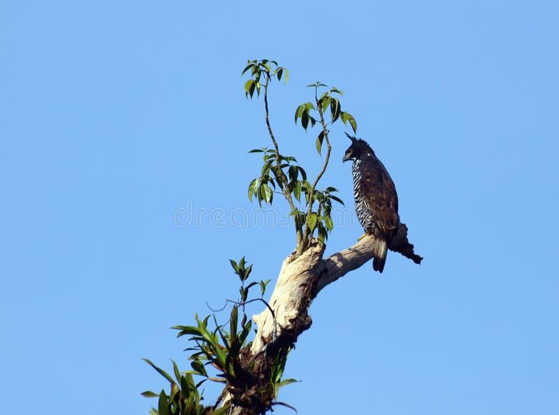 Hawk Eagle di Blyth fotografia stock