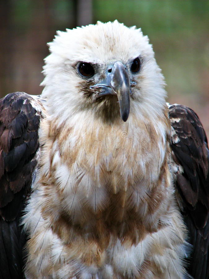 Hawk Eagle Fierce Portrait immagini stock