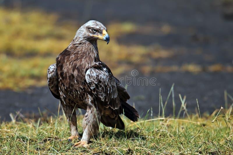 Download Hawk-eagle Sitting On The Land Stock Image - Image: 15610059