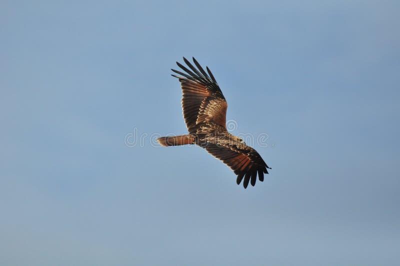 Hawk Eagle variabile (limnaeetus di Nisaetus) fotografie stock libere da diritti