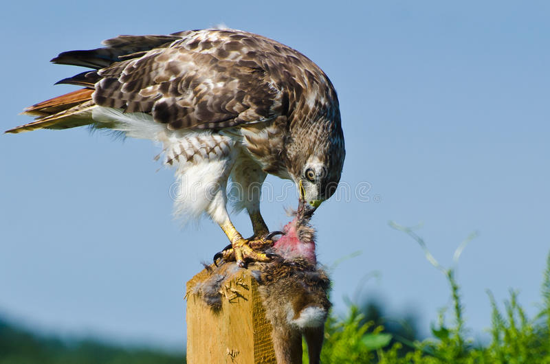 Hawk Eating Captured Rabbit Rojo-atado fotografía de archivo