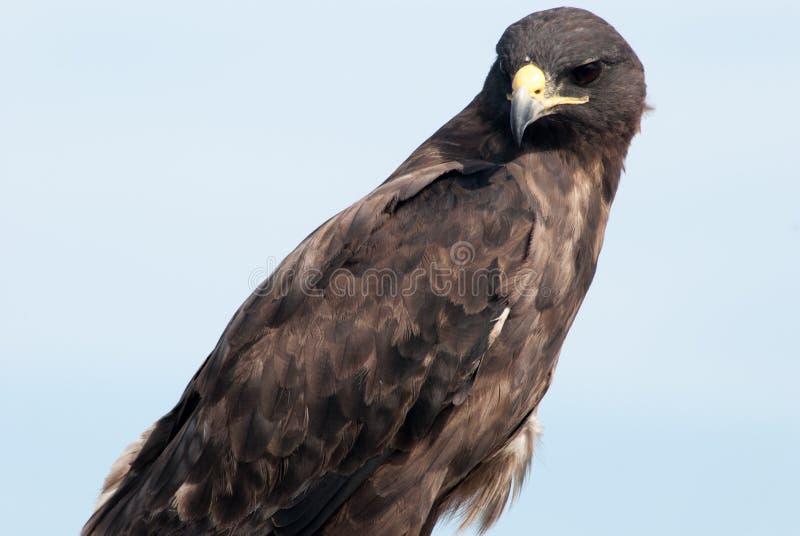 Hawk el territorio de desatención imagen de archivo libre de regalías