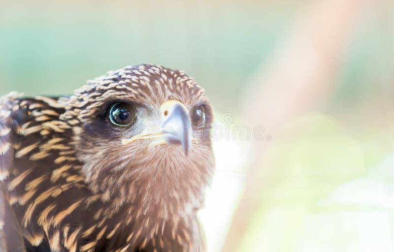 Hawk Eye royalty-vrije stock afbeelding