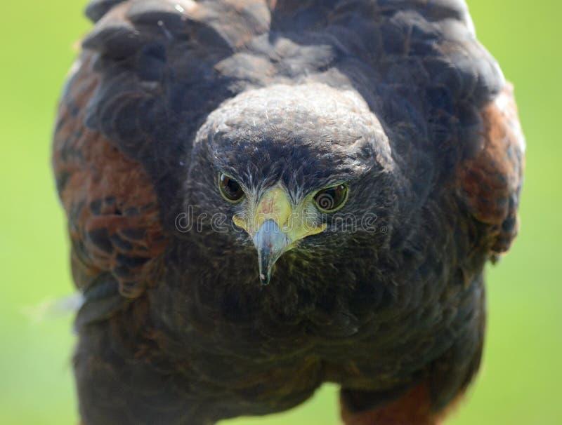Hawk Face royalty-vrije stock afbeeldingen