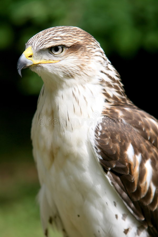 hawk ferruginous obrazy royalty free