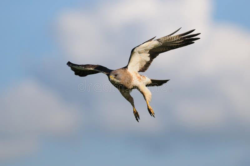 Hawk in-flight