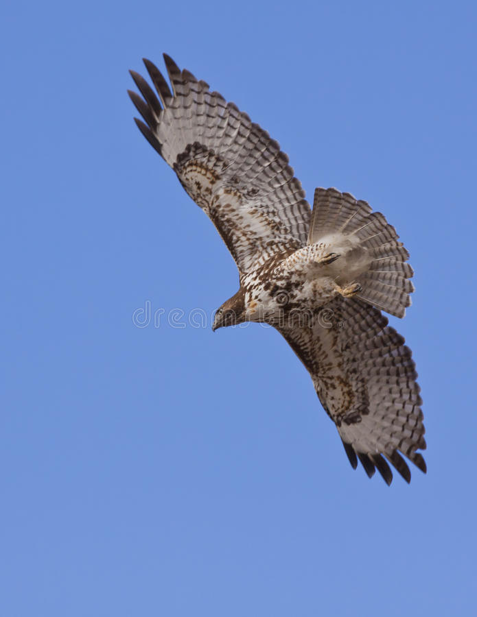 Hawk In Flight royalty free stock images