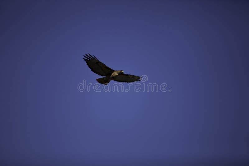 Download Hawk in flight stock photo. Image of hawk, prey, eagle - 25055508