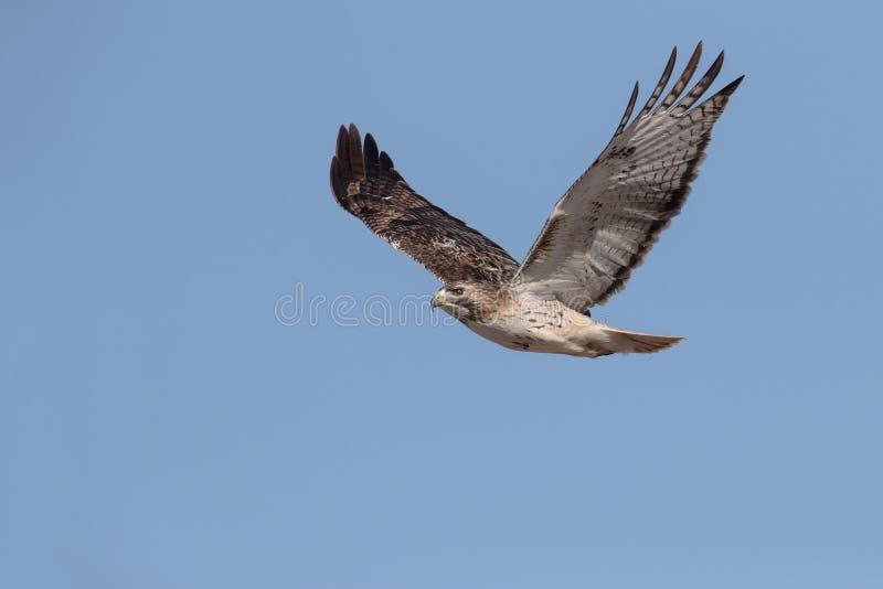 Hawk In Flight Rouge-coupé la queue majestueux photographie stock