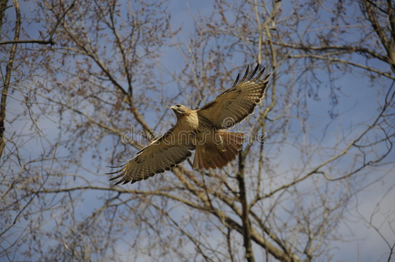 Download Hawk Flying stock image. Image of wildlife, trees, gliding - 25598069