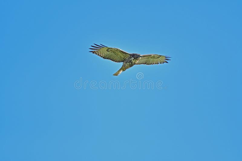A Hawk Flying Away royalty free stock image