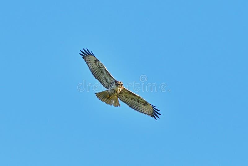A Hawk Flying Away stock photo