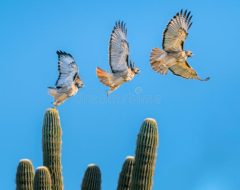 Hawk Flying munito rosso fuori da un cactus del saguaro fotografia stock