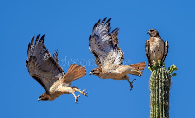 Hawk Flying munito rosso fuori da un cactus del saguaro immagini stock libere da diritti