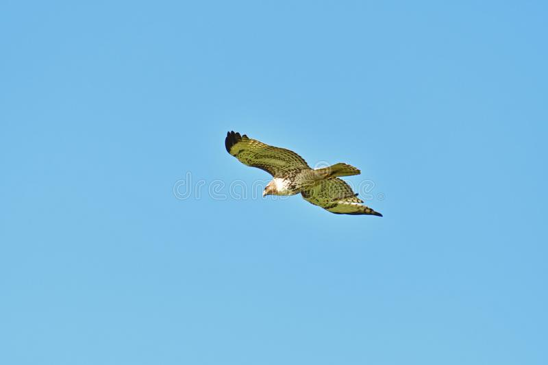 A Hawk Flying over and Away stock images