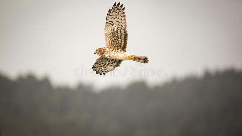 Hawk Flying Over Forest sauvage, image de couleur images libres de droits