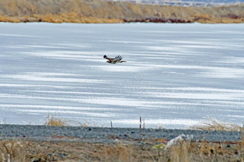 A Hawk flying over the river. At Lower Klamath Fall, CA stock image