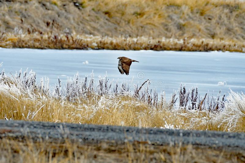 A Hawk on the flight stock image