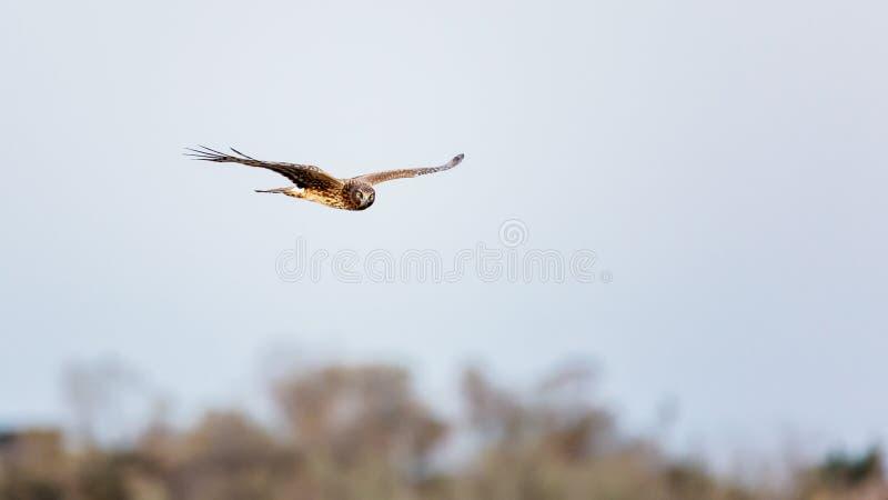 Hawk Flying Over Trees fotos de archivo libres de regalías