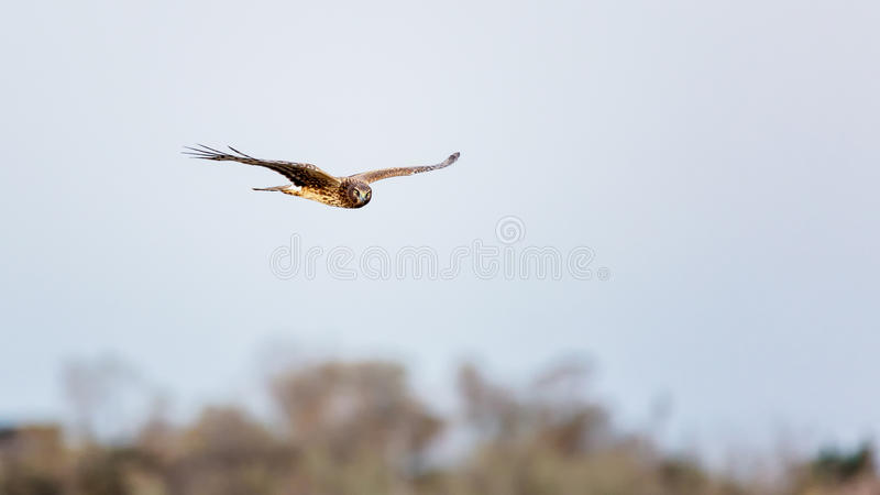 Hawk Flying Over Trees royaltyfria foton