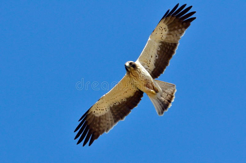 Download Hawk Flying (pandion Haliaetus) Stock Illustration - Image: 23700457