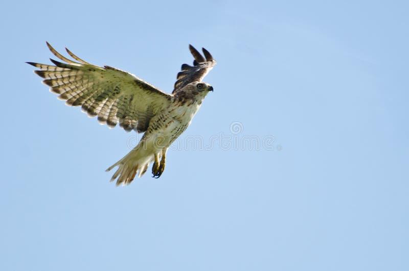 Hawk Flying Rouge-coupé la queue dans un ciel nuageux photos libres de droits